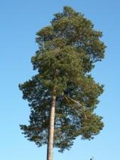 Baum nach oben, große Kiefer, Flora