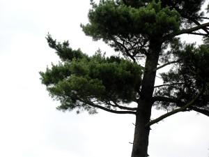pine, tree, white, sky