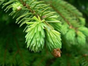Conifer spruce