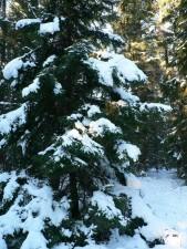 snow, spruce, tree