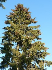 spruce, tree