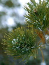 spruce, tree, leaves