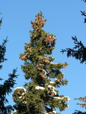 spruce, tree, top, cones