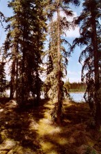 tall, white, spruce, shade, mossy, forest, floor