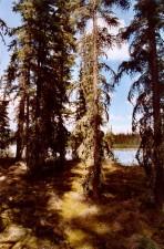 grand, blanc, épinette, ombre, moussu, forêt, plancher