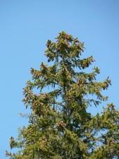 tree, top