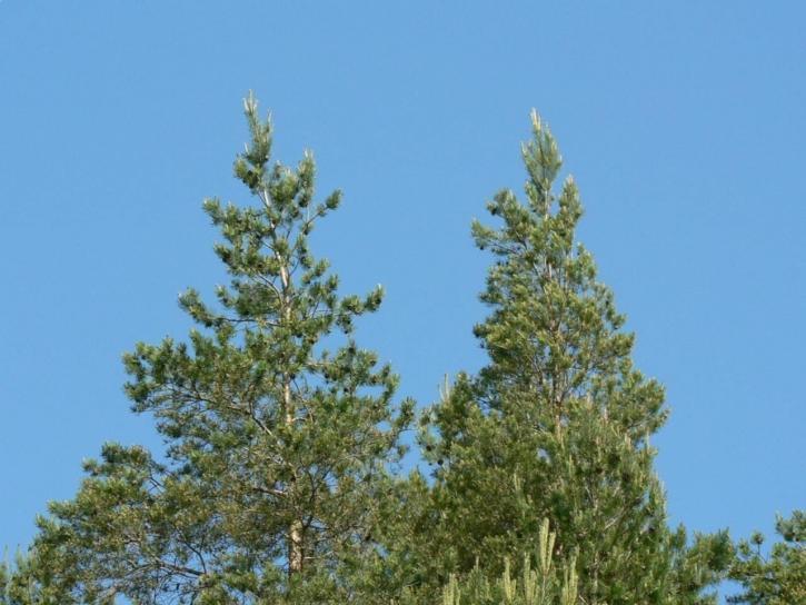 tree, tops
