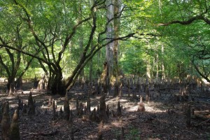 cyprès, arbre, genoux, bottomland, feuillus, forêt