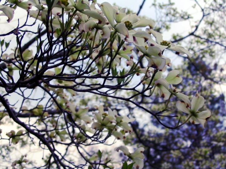 dogwood, tree, bloom