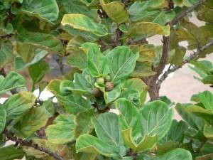 figue, fruits, feuilles, arbre