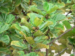 fig, fruits, tree, close
