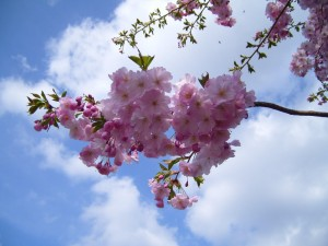 floare de flori, cires,