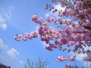 flowering, cherry tree