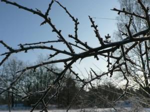 frostbitten, twig, frosen, tree