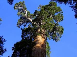 χορήγηση, sequoias, φλοιός, δέντρα, κλαδιά
