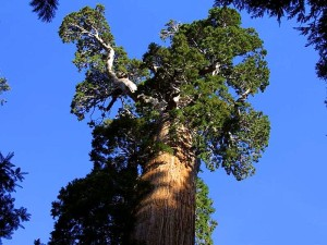 subvención, árboles, secoyas, corteza, ramas