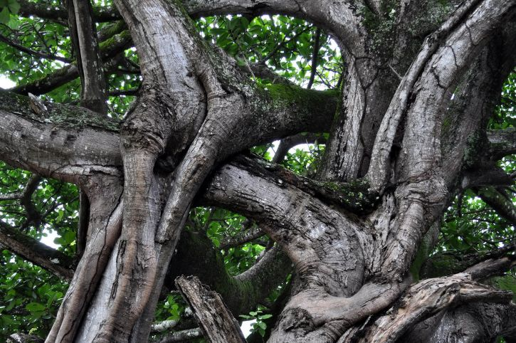 intertwined, branches, large, tree