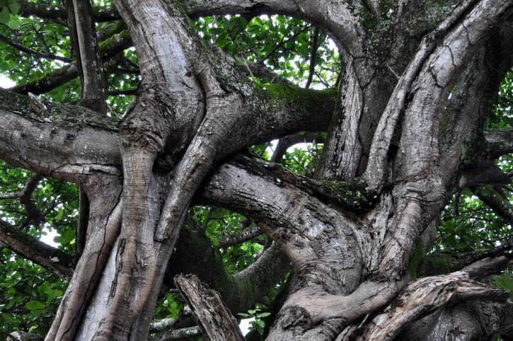 entrelacés, branches, grand arbre
