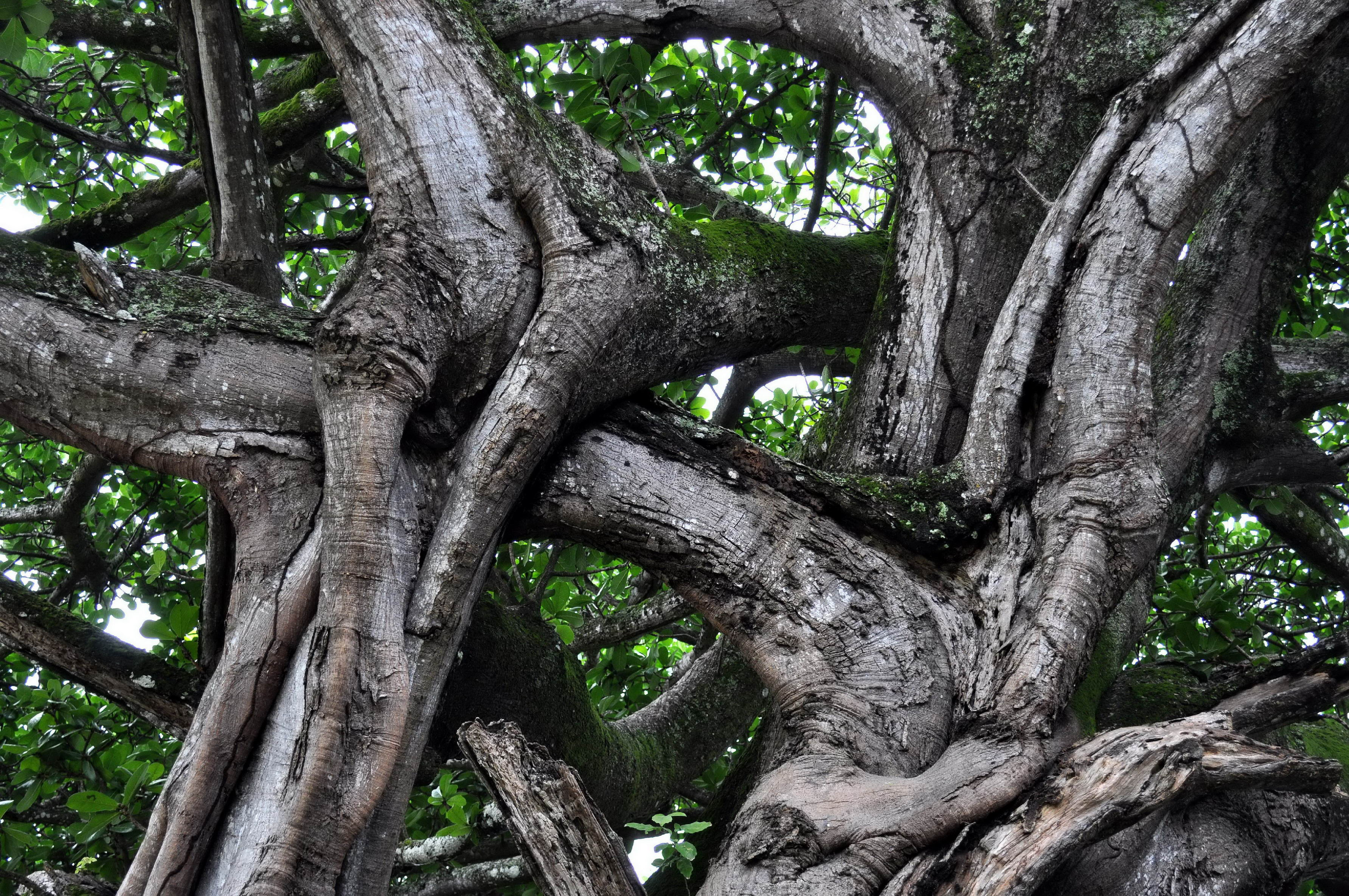 Free photograph; intertwined, branches, large, tree