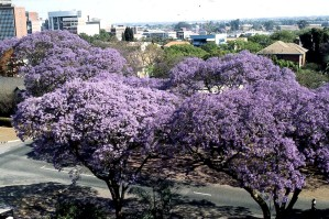 jacaranda, trees, bloom