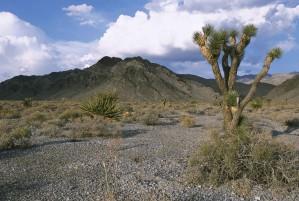 Joshua, árbol, planta, desierto, yuca, brevifolia