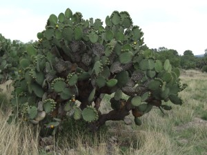 velké, kaktus
