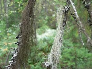 lichens, tree