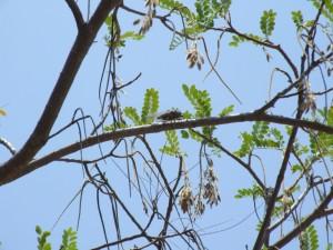 Locust, tree