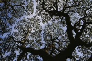 à la recherche, silhouette, branches, Gree, feuillage, sycomore, arbre, platanus, occidentalis