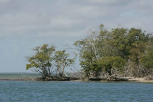 mangrove, trees, growing, water, eroded, beach