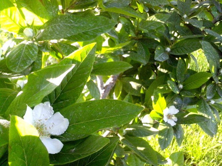 medlar, tree, blooming