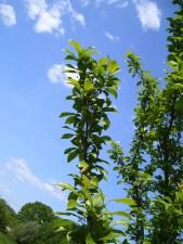 mirabelle, tree, branch