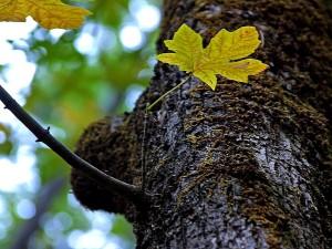 oak, tree