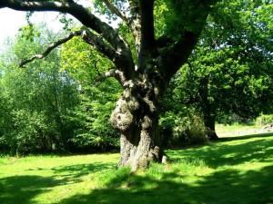 oak, tree, quercus, robur