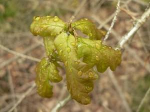 waterdrops, oak, leaves