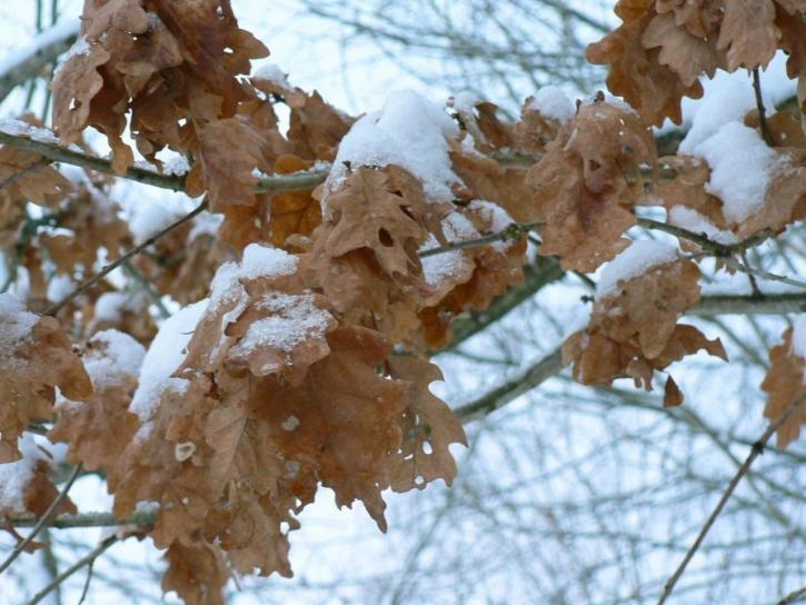 winter, oak, leaves