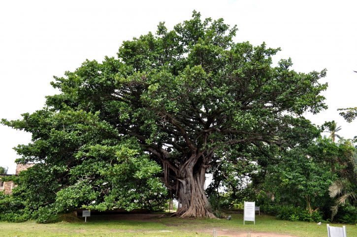 old, big, tree, protected, law