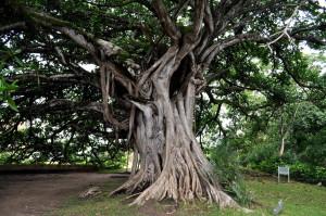 vieux, grand arbre, grand, racines