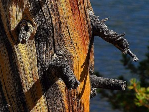 old, pine, tree