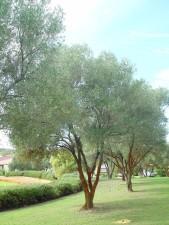 olive, trees