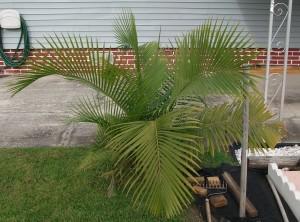small, palmetto