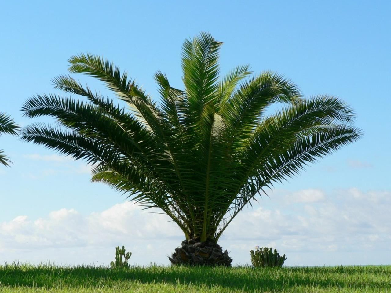 Free Picture Low Palm Tree