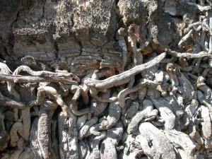 vieux, gris, palmier, racines, à proximité