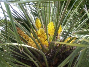 Palme, Blüten