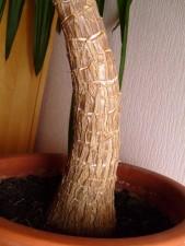 Palm, jucca, cây