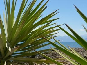 Palm, lá