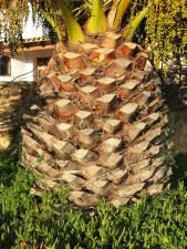 palmier, écorce