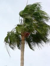 Palm træ, vinden blæser, sky