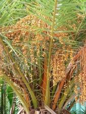 palm tree, fruits