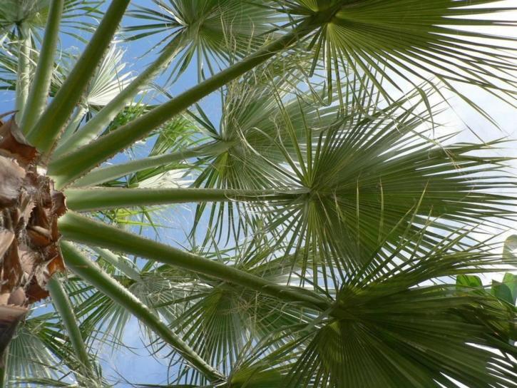 palm tree, leaves